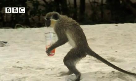 Alcoholic Vervet Monkeys! – Weird Nature