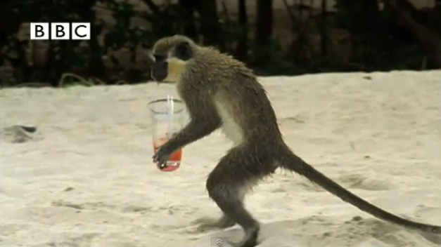 Alcoholic Vervet Monkeys! – Weird Nature