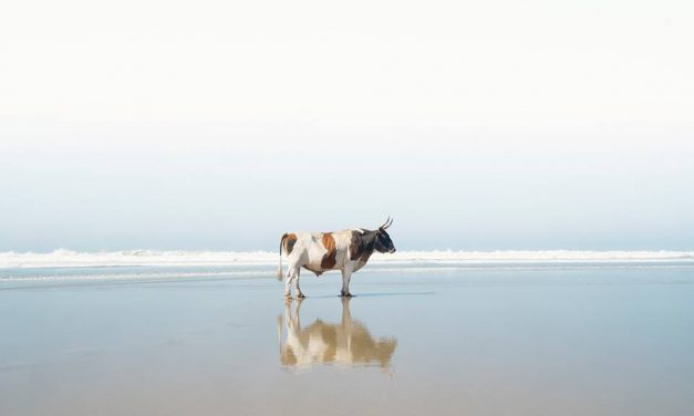 Christopher Rimmer's beach loving cows